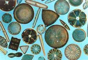 Assorted diatoms