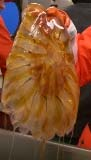 Jellyfish found in the plankton net - large plankton!