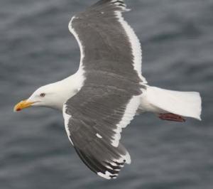 Slaty-Back Gull
