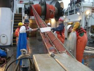 Deck crew works to get fish out of the pocket nets