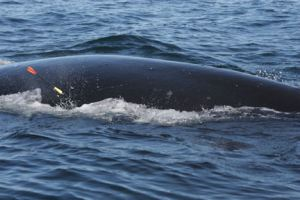 Biopsy tag in right whale