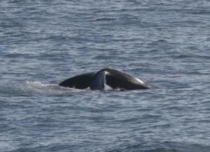 North Atlantic Right Whale (Columbine's calf) Photo Credit- Allison Henry taken under NOAA fisheries permit # 775-1875