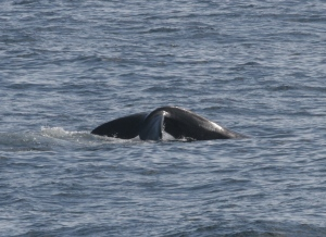 North Atlantic Right Whale (Columbine's calf) Photo Credit- Allison Henry taken under NOAA fisheries permit # 775-1875