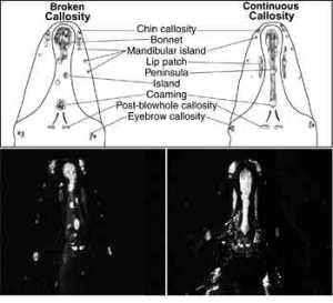 Callosity comparison