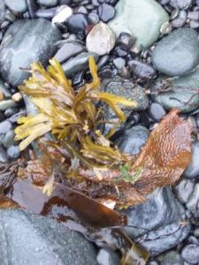 Small leaves, or blades of bull kelp washed into shore add decorations to the black pebble beaches.