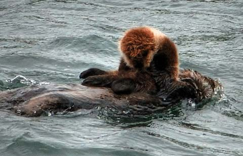 This sea otter mom and baby are floating near a kelp bed. This photograph is courtesy of Ensign Tim Smith, an excellent officer and photographer on the RAINIER.