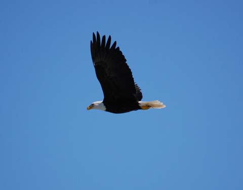 A bald eagle on the fly above Alaskan waters.