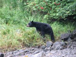black bear comes to inspect what the land party is up to!