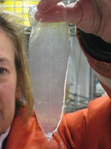 eel larva