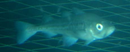 Pollock in the net down below 80 meters – caught and measured on camera