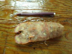A slipper lobster as compared to a pencil.