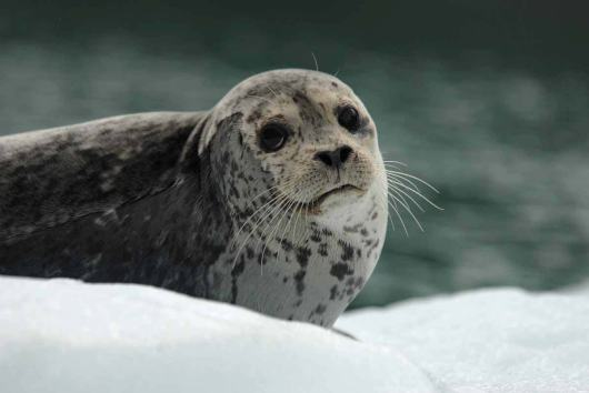 At Dawes Glacier, the seals seemed less frightened of boat traffic, most likely due to the increasingly large number of tour boats and vessels that make their way into Endicott Arm each day.