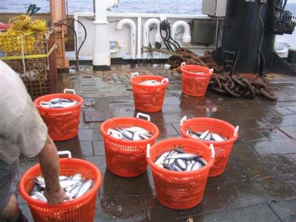 Seven basketsful of herring from a haul in the deep waters near Georges Bank.