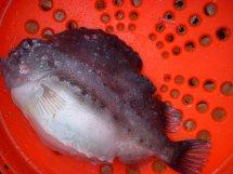 A goosefish, also called a lumpfish.
