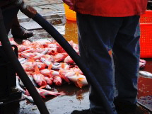 Red Fish waiting to be sorted and later in a clothes basket.