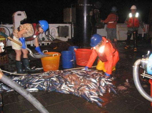 A night haul of herring.  Notice the brilliant blue stripe on the top of the herring. The camera's flash is spotlighted in the reflective tape on the life vests.
