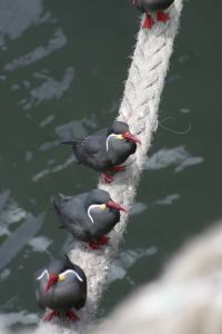 Terns on the hawser