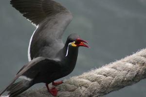 Balancing flat-footed Inca tern
