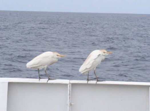 Stowaways – cattle egrets