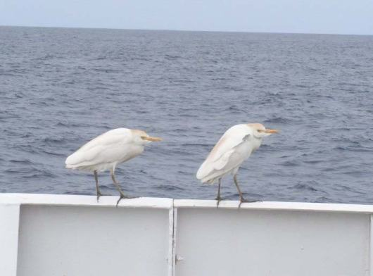 Stowaways – cattle egrets