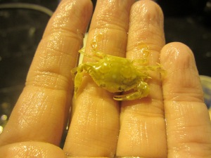 Sargassum swimming crab