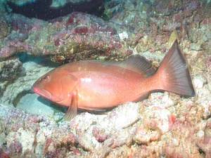 A red grouper (Epinephelus morio) at rest in a small pit on Pulley Ridge.