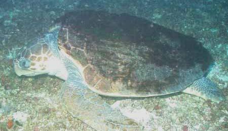 Our ROV disturbs the nap of a loggerhead turtle (Caretta caretta).