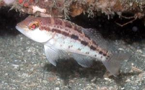 A bank sea bass (Centropristis ocyurus) tucked in under one of the rock outcrops along the West Florida Shelf.