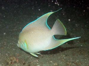 A blue angelfish (Holacanthus bermudensis).
