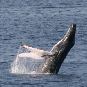 A humpback whale breaches the water off the bow of the Bigelow.