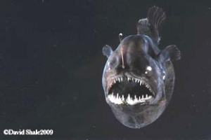 An anglerfish—see the bioluminescent tip of the lure located at the top of the head? (photo by David Shale)