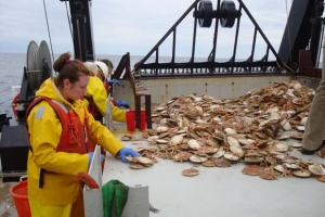 Sorting scallops brought up by the dredge