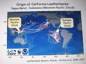 Figure indicating migration of different genetic stocks of Pacific leatherback turtles.