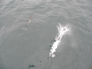 Two Dall's porpoise gliding next to the ship.