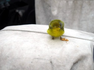 Unidentified songbird, hopping a ride aboard the Jordan.