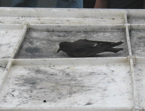 A Leach's storm petrel rests on the trawl net container.