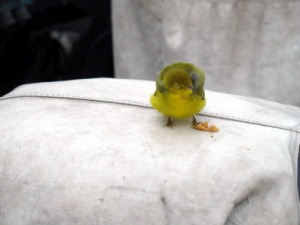 A Wilson's warbler rests on the flying deck.