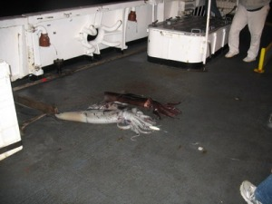 Two Humboldt squid fresh from the Pacific!