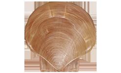 Atlantic Sea Scallop