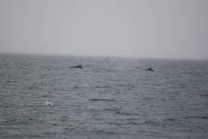Two whales with their dorsal fins showing
