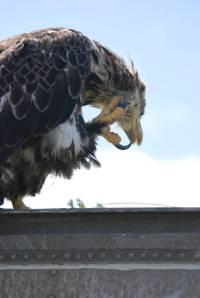 Juvenile bald eagle preening