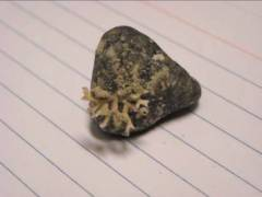 A piece of coral on a pebble.  (It's on a 3x5 file card for scale.)