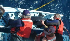 NOAA scientist Dr. Suzy Kohin (center places) two different satellite tags on a 197cm Mako shark.