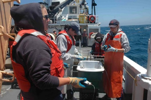 Setting a long line: Ann Coleman from the Monterey Bay Aquarium at the front of the set line waits to put the ganglion on the line, while someone else attaches a buoy. Beyond Ann, the crew is baiting the lines; beyond them, the crew prepares the hook and beyond them the deck crew extends the long line.