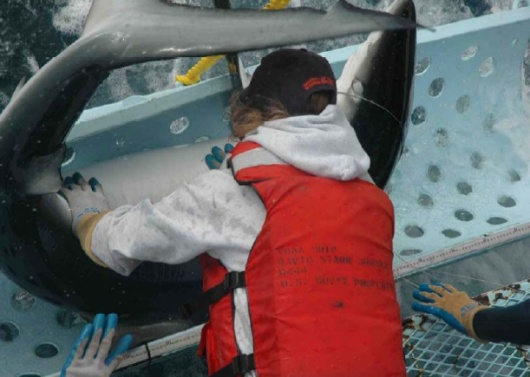 Dr. Suzy Kohin surrounded by a big Blue Shark – notice the eye, the nictitating membrane covers the eye.