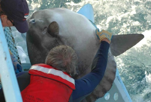 Scientists Suzy Kohin and Russ Vetter tag the Mola mola, Ocean Sunfish