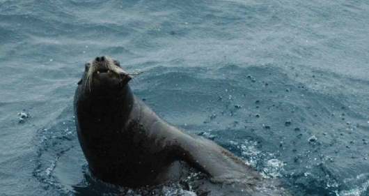 Steller sea lion hooked in the mouth