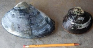 Mature Atlantic Surf Clam and Ocean Quahog
