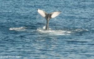 The fluke of the humpback