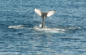 The fluke of the humpback